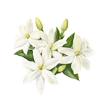 Fragrance Note: Jasmin